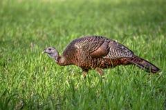 Молодая восточная одичалая курица Турции Стоковая Фотография RF
