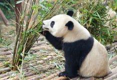 Молодая гигантская панда есть бамбук, Китай стоковые фото