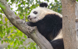 Молодая гигантская панда спать в дереве стоковые изображения
