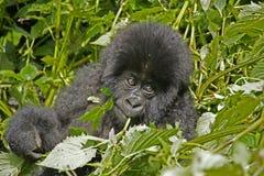 Молодая горилла горы Стоковое фото RF