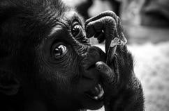 Молодая горилла Стоковое Изображение RF