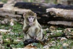 Молодая еда обезьяны barbary Стоковые Изображения RF