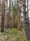 Молодая ель в древесине сосны Стоковое Изображение RF