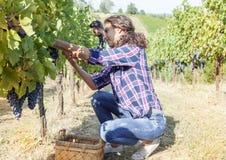 Молодая женщина выбирает виноградины в винограднике Стоковые Изображения RF