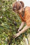 Молодая женщина жать виноградину Стоковая Фотография