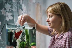 Молодая женщина подавая бета рыбы в аквариуме дома стоковые фотографии rf