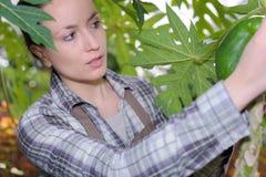 Молодая женщина проверяя плодоовощ от дерева в саде Стоковая Фотография