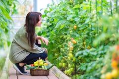 Молодая женщина с корзиной растительности и овощей в парнике Время сбора стоковые фотографии rf