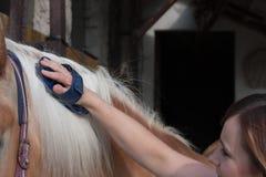 Молодая женщина чистя ее лошадь щеткой, жеребца породы Haflinger лошади Стоковое Изображение