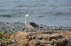 Молодая Желт-шагающая чайка Стоковые Фото