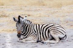 Молодая зебра в африканском кусте Стоковые Изображения
