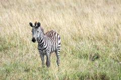 Молодая зебра в национальном заповеднике Кении Mara Masai Стоковая Фотография RF
