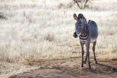 Молодая зебра в национальном заповеднике Кении Mara Masai Стоковое Изображение RF