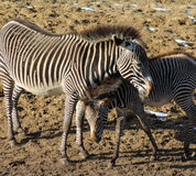 молодая зебра Стоковое Изображение