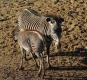 молодая зебра Стоковое Фото