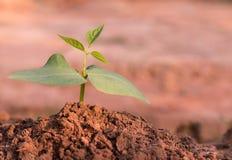 Молодая зеленая фасоль Стоковая Фотография