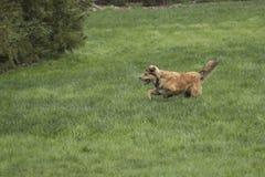 Молодая золотая собака Sprinting Стоковое Изображение
