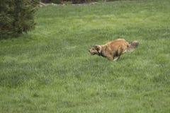 Молодая золотая собака Sprinting Стоковая Фотография RF
