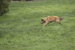 Молодая золотая собака Sprinting Стоковые Фото