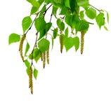Молодая изолированная ветвь березы с бутонами и листьями, Стоковое фото RF