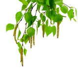 Молодая изолированная ветвь березы с бутонами и листьями, Стоковая Фотография RF