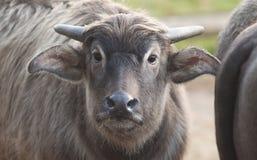 Молодая икра буйвола Стоковая Фотография RF