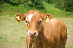 Икра коровы Стоковое Изображение