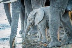 Молодая икра слона выпивая между ногами взрослых слонов Стоковые Фотографии RF