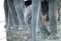 Молодая икра слона между ногами взрослых слонов Стоковая Фотография RF