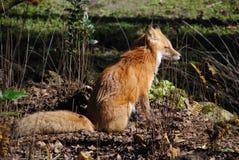 Молодая лиса сидя в солнечности Стоковые Изображения