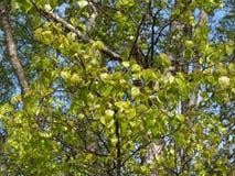 Молодая листва березы бородавчатого (Береза повислая Roth) Стоковое Изображение RF