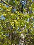 Молодая листва березы бородавчатого (Береза повислая Roth) Стоковая Фотография