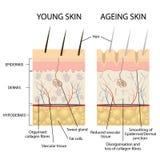 Молодая и более старая кожа бесплатная иллюстрация