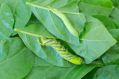 Молодая и взрослая зеленая гусеница death& x27; hawkmoth головы s на gr Стоковое Изображение RF