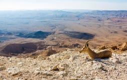 Молодая коза горы Стоковые Изображения