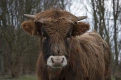 Молодая корова galloway Стоковые Изображения