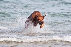 Бежать в собаке моря стоковая фотография