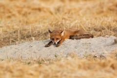 Молодая красная лисица Стоковые Изображения RF