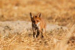 Молодая красная лисица Стоковое Изображение