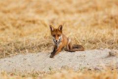 Молодая красная лисица Стоковое Изображение RF