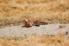 Молодая красная лисица Стоковые Фотографии RF