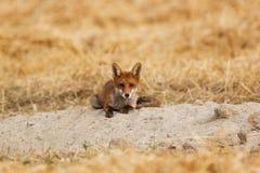 Молодая красная лисица Стоковое Фото