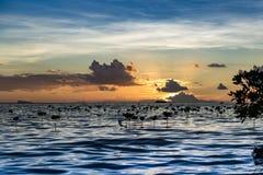 Молодая мангрова во времени захода солнца Стоковое Изображение RF