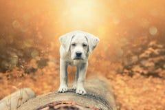 Молодая малая собака retriever labrador в лесе заходом солнца Стоковые Фотографии RF