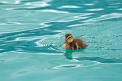 Молодая малая утка Стоковые Фото