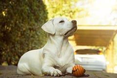 Молодая маленькая собака labrador с игрушкой в солнце Стоковое фото RF