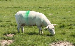 Молодая милая овечка младенца Стоковые Изображения