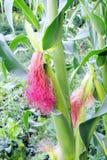 Молодая мозоль в саде Стоковое Изображение