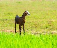Молодая няня-коза кабанины стоя близко трава Стоковая Фотография
