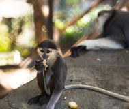 Молодая обезьяна ест пока отдыхать мамы обезьяны Стоковая Фотография RF
